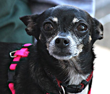 Rescue A Chihuahua Silver Linings Program